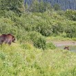 Alaskan Grizzlies in summer - Stock Photo