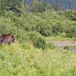 Alaskan Grizzlies in summer — Stock Photo #6476383