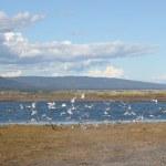 Flock of gulls near Mud Bay — Stock Photo