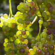 Grapes ready for harvest - Stock Photo