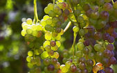 Grapes ready for harvest — Stock Photo