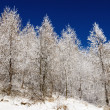 Stok fotoğraf: Birch in winter