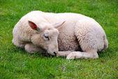 Ovelhas na grama verde — Fotografia Stock