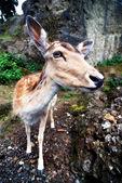 Roe in zoo, Switzerland — Stock Photo