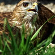 Royalty-Free Stock Photo: Hawk is heated to the ground