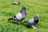 Pigeons on the grass — Stock Photo