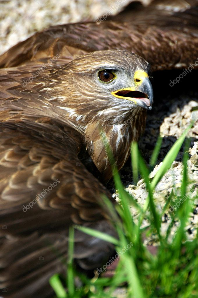 Hawk is heated to the ground — Stock Photo #6587435