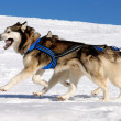 Stock Photo: Dog sledding