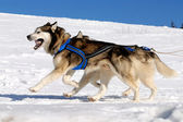 Dog sledding — Stock Photo