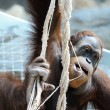 Stock Photo: Oranguthanging on ropes in zoo