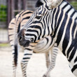 Portrait of a zebra in the zoo, behind the second rib turned the rear of th — Stock Photo #6671351