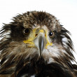 A young bald eagle - Stock Photo