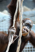 Orangutan hanging on the ropes in the zoo — Stock Photo