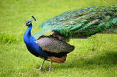 Peacock feathers to withdraw, in a park on green grass — Stock Photo