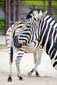 Portrait of a zebra in the zoo, behind the second rib turned the rear of th — Stock Photo