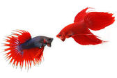 Fighting fish — Stock Photo