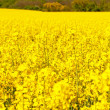 Picture of Oilseed Rapes — Stock Photo