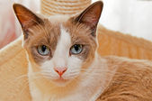 Snowshoe Cat — Stock Photo