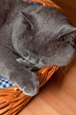 Blue British Shorthair Cat — Stock Photo
