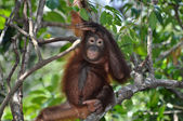 Cute Orangutan Baby — Stock Photo