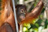 Cute Orangutan Baby — Stock Photo