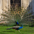 peacocks — Stock Photo #6629406