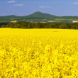 Stock Photo: Oilseed Rapes