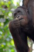 Orangutan Female — Stock Photo