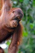 Fêmea de orangotango — Fotografia Stock