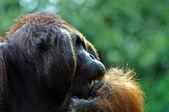 Big Dominant Orangutan Male — Stock Photo