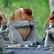 Stock Photo: Group of Proboscis Monkeys