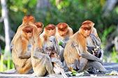 Gruppo di scimmie proboscide — Foto Stock