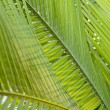 Fresh green palm leaf, can be used for background, shallow depth — Stock Photo