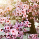 Spring cherry blossoms, shallow DOF — Stock Photo