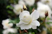 White rose close up — Stock Photo