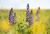 Beautiful violet lupins — Stock Photo