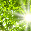 Green leaves and sun — Stock Photo #6485759