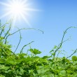 Stock Photo: Green vines approaching to sun