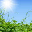 Green vines approaching to sun — Stock Photo