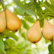 Stock Photo: Ripe pears on tree