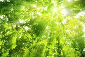 Hojas del roble verdes — Foto de Stock
