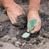 Real planting sprout of cabbage with dirty hands — Stock Photo