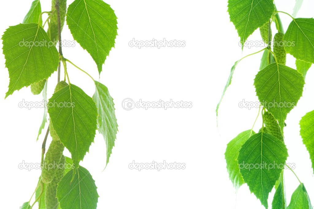Birchen green leaves isolated on white background  Stock Photo #6485828