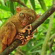 Tarsier - Stock Photo