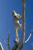 Nice lemur — Stock Photo
