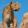 Leopard standing on the rock in savannah - Stock Photo
