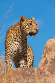 Leopard standing on the rock in savannah — Stock Photo