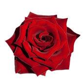 Rode rose geïsoleerd op wit — Stockfoto