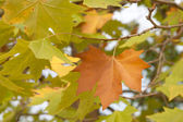 Red ang green autumn sycamores leaves — Stock Photo