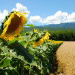 Girasoles - Stock Photo